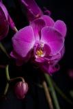 Dunkle Orchideen stockfotografie