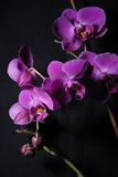 Dunkle Orchideen stockfotos