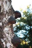 Dunkle Pilze auf einem Baum lizenzfreies stockfoto