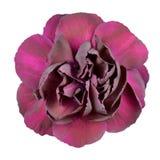 Dunkle purpurrote Gartennelke-Blume getrennt auf Weiß lizenzfreie stockfotografie