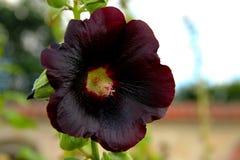 Dunkle purpurrote große Blüte Stockfotografie