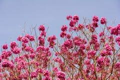 Dunkle rosa Blumen auf dem Baum gegen Hintergrund des blauen Himmels Stockbilder