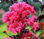 Dunkle rosa Kreppmyrtenblüten stockfotos