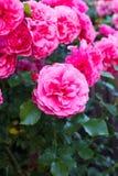 Dunkle rosa Rosen in einem Garten Rosarium Uetersen Stockfotos