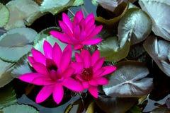 Dunkle rosafarbene Lilie des Wassers drei in der Pornografie stockbild