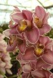 Dunkle rosafarbene Orchidee in einem Gewächshaus Stockbild