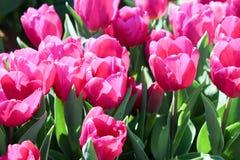 Dunkle rosafarbene Tulpen Stockbild