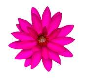 Dunkle rosafarbene Wasserlilie getrennt Lizenzfreies Stockfoto