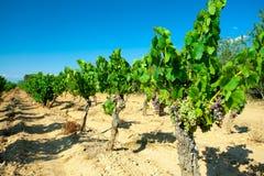 Dunkle Trauben für Wein auf Stöcken Stockbild