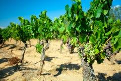Dunkle Trauben für Wein auf Stöcken Stockfotos