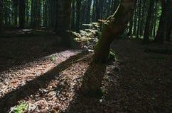 Dunkle Waldlandschaft mit dem Sonnenlicht, welches das grüne Laub erhellt lizenzfreie stockbilder