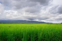 Dunkle Wolke nahe dem Regen fallen am Reisfeld ab Lizenzfreie Stockfotos