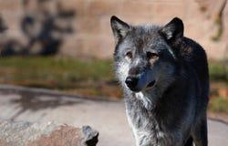 Dunkler Bauholz-Wolf, der auf Recht steht Stockbild
