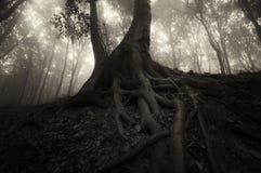 Dunkler Baum mit großen Wurzeln im mysteriösen Wald auf Halloween Lizenzfreie Stockfotos