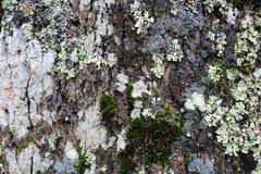 Dunkler Baum-Stamm mit silberner farbiger Flechte auf seiner Oberfläche stockfotos