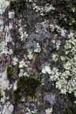 Dunkler Baum-Stamm mit silberner farbiger Flechte auf seiner Oberfl?che lizenzfreies stockfoto
