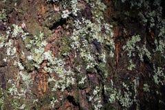 Dunkler Baum-Stamm mit silberner farbiger Flechte auf seiner Oberfl?che stockfoto