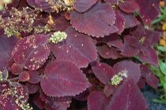 Dunkler Burgunder und rote Blätter mit den weißen Knospen lizenzfreies stockfoto