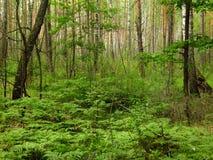 Dunkler, feenhafter Wald Stockfotos