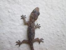 Dunkler Gecko gegen eine Wand lizenzfreie stockfotos