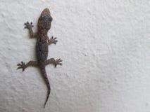 Dunkler Gecko gegen eine Wand stockfoto