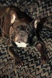 Dunkler Hintergrund der französischen Bulldogge stockbilder