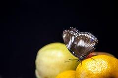 Dunkler Hintergrund der Schmetterlingsmandarine lizenzfreie stockbilder