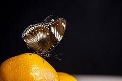 Dunkler Hintergrund der Schmetterlingsmandarine stockbilder