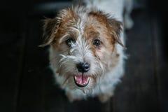 Dunkler Hintergrund Jack Russel Terrier-portret Nahaufnahme Stark behaart und Pelz stockfotos