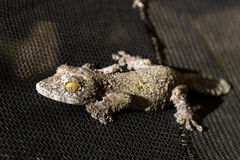 Dunkler moosiger Blatt-angebundener Gecko Stockfotos