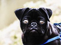 Dunkler Pug stockfotos