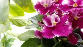 Dunkler rosa Saintpaulia auf einem Hintergrund von hellgr?nen Zitronenbl?ttern schlie?en oben stockfotos