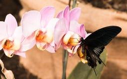 Dunkler Schmetterling auf Orchideenblume lizenzfreie stockfotografie