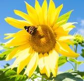 Dunkler Schmetterling und blühendes sunflowe Stockbild