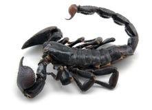 Dunkler Skorpion stockbilder