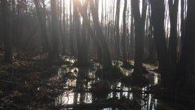 Dunkler sumpfiger Wald mit alten Bäumen und Büschen stock video footage