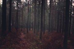 Dunkler Tannenwald im Fall mit gefallenen Nadeln und verwelkten Farnen, der Weg steigt tief in den Wald ein lizenzfreie stockfotografie