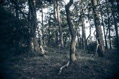 Dunkler Wald mit toten Bäumen Stockbilder