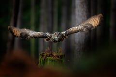 Dunkler Wald mit Vogel Eule im Waldlebensraum, Baumstumpf Fliegen-Eurasier Eagle Owl mit offenen Flügeln im Waldlebensraum, Deuts Stockfotos