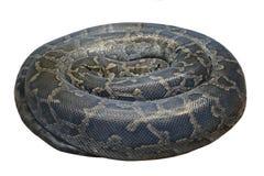 Dunkles Helles Tigerpython (Pythonschlange molurus bivittatus) wird es an lokalisiert lizenzfreie stockfotos