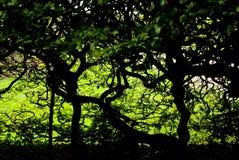 Dunkles Laub und verdrehte Bäume Stockbild