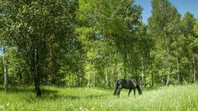 Dunkles Pferd auf der Wiese stock video