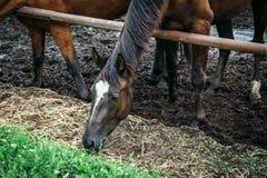 Dunkles Pferd essen das Heu oder Gras, die im Stift stehen oder zäunen im landwirtschaftlichen Bauernhof oder in der Ranch ein stockbilder