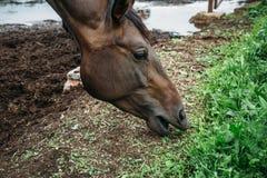 Dunkles Pferd essen das Heu oder Gras, die im Stift stehen oder zäunen im landwirtschaftlichen Bauernhof oder in der Ranch ein stockfotos