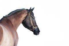 Dunkles Pferd lokalisiert auf weißem Hintergrund Stockbild