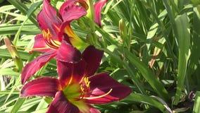 Dunkles Purpur der Garten-Lilie stock video