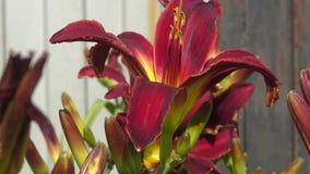 Dunkles Purpur der Garten-Lilie stock footage