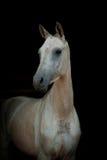 Dunkles reinrassiges Pferd Stockfotos