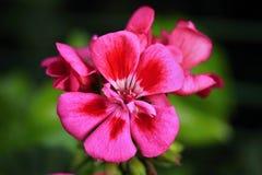 Dunkles rosa Pelargonie zonale lizenzfreies stockbild