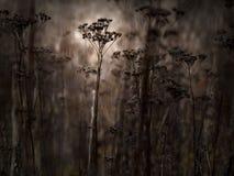 Dunkles schwermütiges Feld von trockenen Blumen, Weinlese Sepia stockfotografie